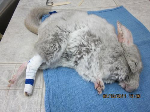 post-op chinchilla