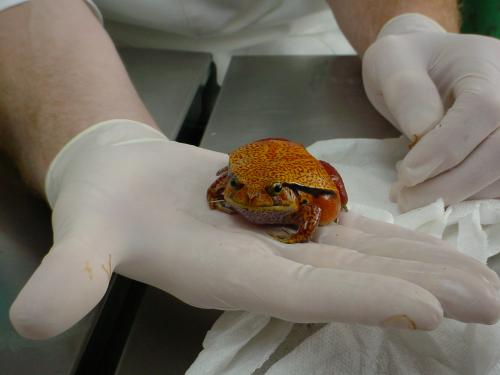 a tomato frog... we even see these